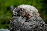 The hoary marmot is a species of marmot that inhabits the mountains of northwest North America. Hoary marmots live near the tree line on slopes with grasses and forbs to eat and rocky areas for cover.