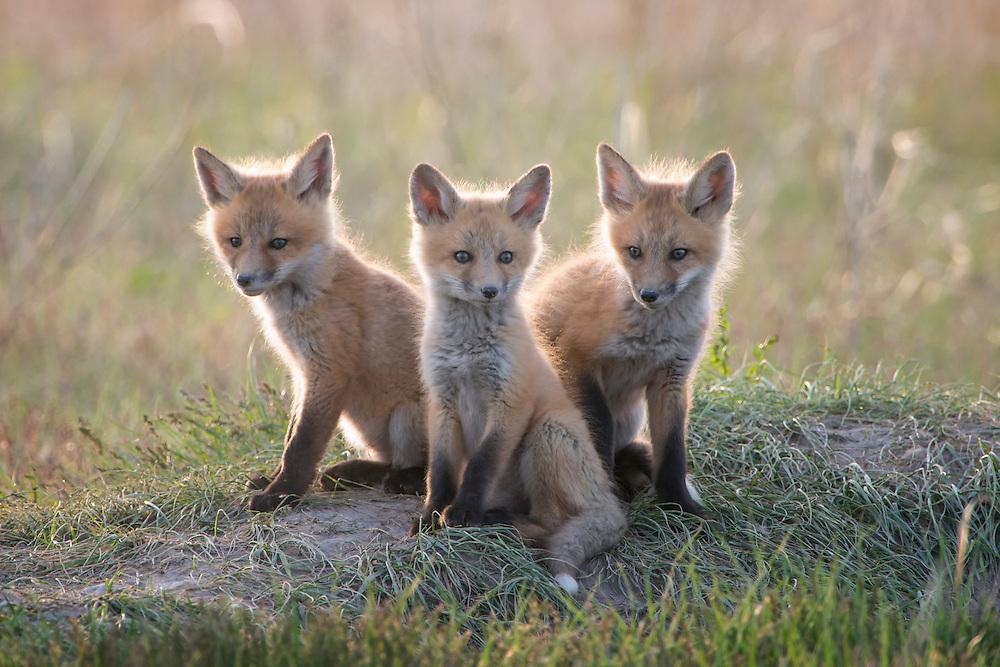 Red Fox Pup Trio, Missoula, Montana