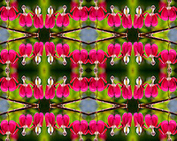 Photo montage of bleeding hearts blooming in Kodiak, Alaska garden.
