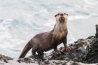 Cape Clawless Otter emerging from the sea, Tsitsikamma Marine Protected Area, Garden Route National Park, Eastern Cape, South Africa,