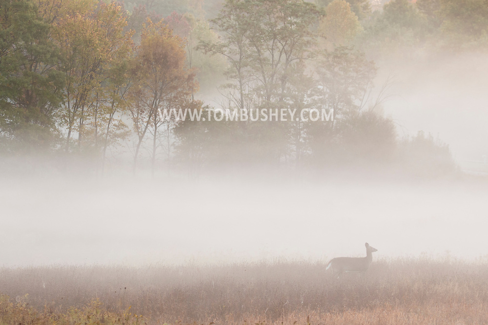 Middletown, New York  - A white-tailed deer stands in a foggy field on before dawn on on Oct. 8, 2015.