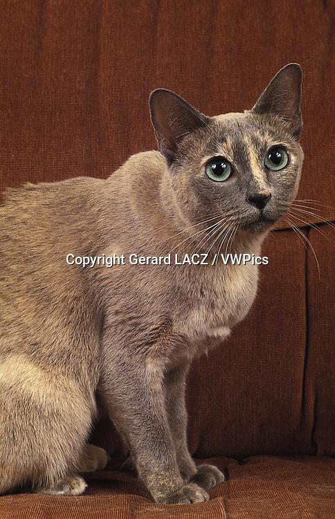 Tonkinese Domestic Cat sitting