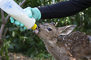 Black-tailed Deer<br /> Odocoileus hemionus<br /> Diane Nicholas, President of Kindred Spirits Fawn Rescue, bottle-feeding three-day-old orphaned fawn<br /> Kindred Spirits Fawn Rescue, Loomis, California