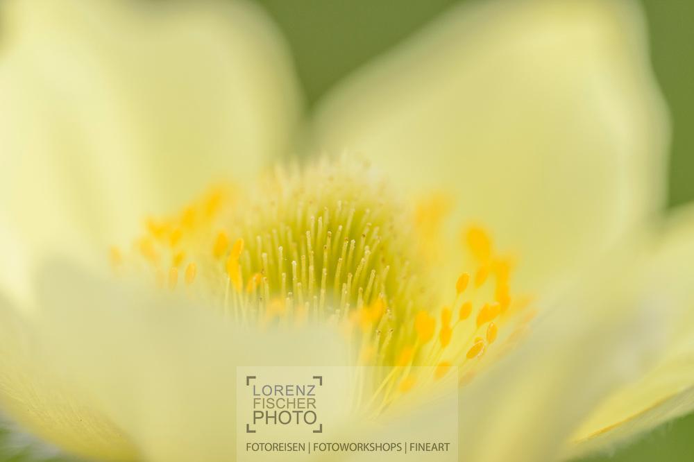 Schwefel-Anemone (Pulsatilla alpina subsp. apiifolia) an einem Frühlingstag im Juni an den Südhängen oberhalb des unterengadiner Dorfes Ftan