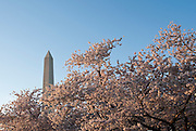 Apr 2,2010 - Washington, District of Columbia USA - It is Cherry Blossom Time in Washington D.C. and the trees are in full bloom. The National Cherry Blossom Festival is an annual two-week event that celebrates springtime in Washington, DC as well as the 1912 gift of the cherry blossom trees from Japan. (Credit Image: © Pete Marovich/ZUMA Press)