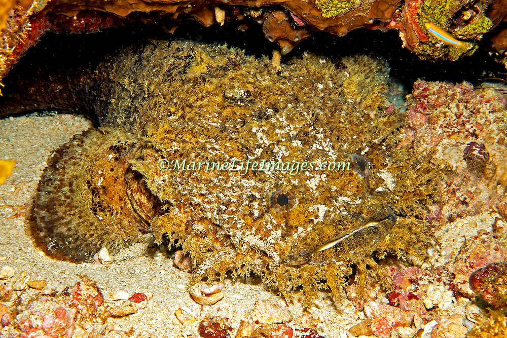 Bearded Toadfish inhabit shallow sandy areas, usually in dark recesses under rocks and reefs with only head proturding along Caribbean coast and islands of Central America; picture taken Panama.