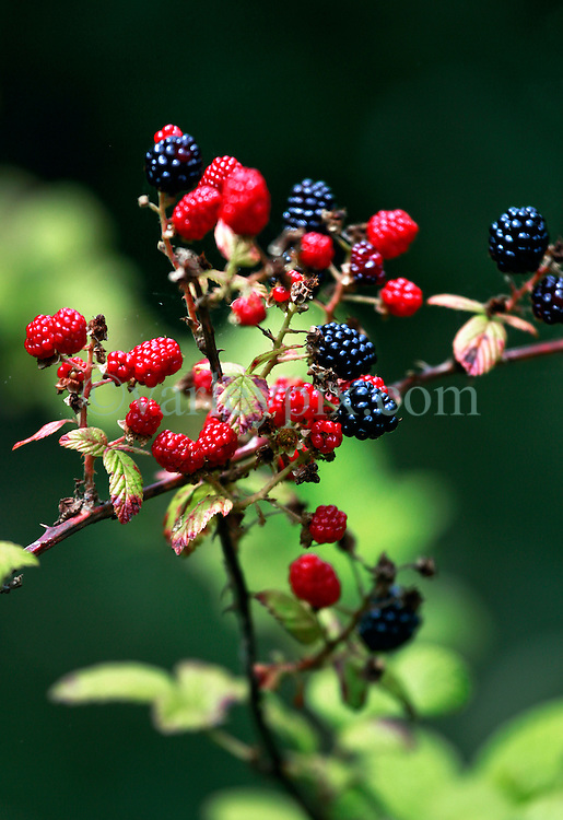 02 June 2014. Jean Lafitte National Historic Park, Louisiana.<br /> Wild blackberries in the swamp at the Barataria Preserve wetlands south or New Orleans.<br /> Charlie Varley/varleypix.com