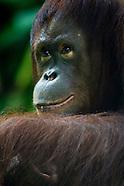 orangutan expressions