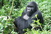 Rwanda, Volcanoes National Park (Parc National des Volcans) male gorilla