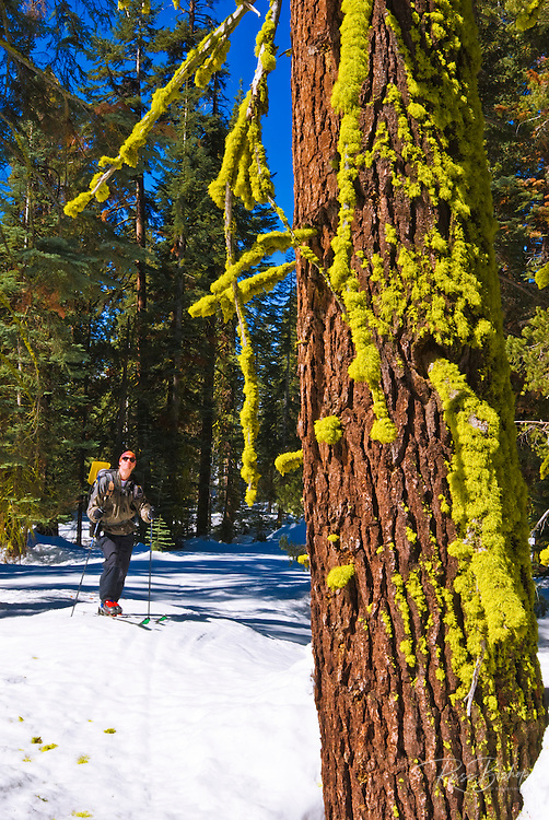 Backcountry skier and moss covered pine, Yosemite National Park, California
