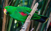 "The Eclectus Parrot (or Grand Eclectus or King Parrot, Eclectus roratus, a male shown here) is native to the Solomon Islands, Sumba, New Guinea and nearby islands, northeastern Australia and the Maluku Islands (Moluccas). Unusual in the parrot family, it has extreme sexual dimorphism of plumage colors, with the male mostly bright emerald green and the female mostly bright red and purple/blue plumage. Photographed in Bloedel Conservatory, Queen Elizabeth Park, 4600 Cambie St, Vancouver, British Columbia, Canada. Bloedel Conservatory is a domed lush paradise where you can experience the colors and scents of the tropics year-round, within Queen Elizabeth Park, atop the City of Vancouver's highest point, Little Mountain (501 feet). In Bloedel Conservatory, more than 200 free-flying exotic birds, 500 exotic plants and flowers thrive within a temperature-controlled environment. A donation from Prentice Bloedel built the domed structure, which was dedicated in 1969 ""to a better appreciation and understanding of the world of plants,"" and is jointly operated by Vancouver Park Board and VanDusen Botanical Garden Association. A former rock quarry has been converted into beautiful Queen Elizabeth Park with flower gardens, public art, grassy knolls."