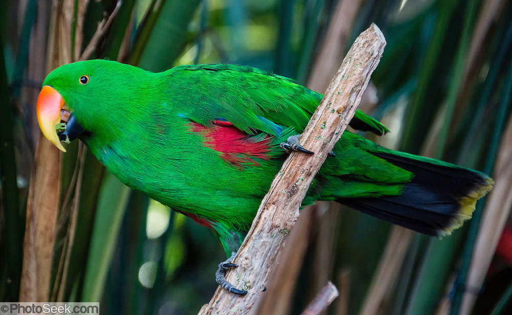 """The Eclectus Parrot (or Grand Eclectus or King Parrot, Eclectus roratus, a male shown here) is native to the Solomon Islands, Sumba, New Guinea and nearby islands, northeastern Australia and the Maluku Islands (Moluccas). Unusual in the parrot family, it has extreme sexual dimorphism of plumage colors, with the male mostly bright emerald green and the female mostly bright red and purple/blue plumage. Photographed in Bloedel Conservatory, Queen Elizabeth Park, 4600 Cambie St, Vancouver, British Columbia, Canada. Bloedel Conservatory is a domed lush paradise where you can experience the colors and scents of the tropics year-round, within Queen Elizabeth Park, atop the City of Vancouver's highest point, Little Mountain (501 feet). In Bloedel Conservatory, more than 200 free-flying exotic birds, 500 exotic plants and flowers thrive within a temperature-controlled environment. A donation from Prentice Bloedel built the domed structure, which was dedicated in 1969 """"to a better appreciation and understanding of the world of plants,"""" and is jointly operated by Vancouver Park Board and VanDusen Botanical Garden Association. A former rock quarry has been converted into beautiful Queen Elizabeth Park with flower gardens, public art, grassy knolls."""