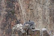 USA, Wyoming, Osprey in Nest, Yellowstone National Park