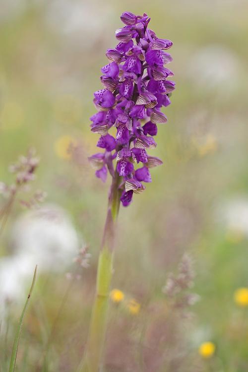 Anacamptis morio ssp. morio; Apulia; Gargano Peninsula; Green-winged Orchid; Italy