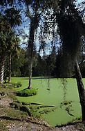 Vereinigte Staaten von Amerika, USA, Florida: amerikanischer Mississippi-Alligator (Alligator mississippiensis). Lebensraum der Alligatoren, ein mit Entengruen bedeckter Fluss. | United States of America, USA, Florida: American Alligator, Alligator mississippiensis, Alligator habitat, river covered with duckweed. |