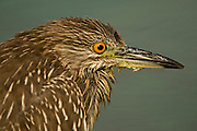 Israel, Maagan Michael Fish ponds, Close up of Juvenile Black-crowned Night Heron. Nycticorax nycticorax October 2008