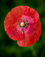 Red Poppy Flower. Image taken with a Leica TL2 camera and 60 mm f/2.8 macro lens