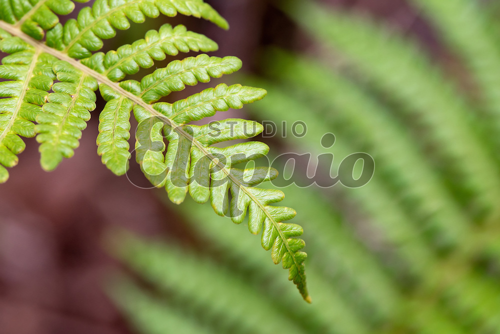 Frond of amau tree fern (Sadleria cyatheoides). Photographed at Hawaii Volcanoes National Park on Hawaii Island.