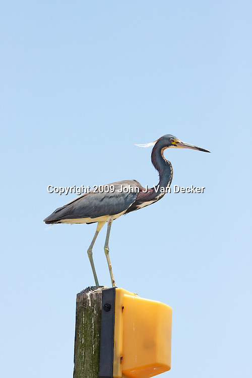 Tricolored Heron standing on a dock light