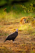 A Hooded Vulture looks into camera while a male lion lays behind watching.