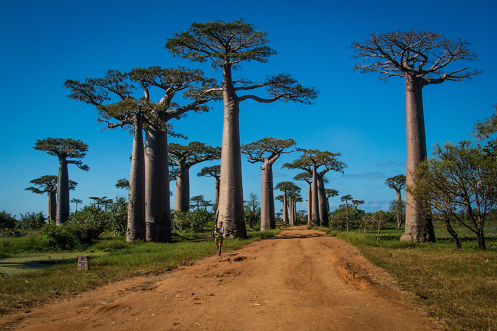 The Avenue of the Baobabs is located in western Madagascar which is a group of baobab trees lining the dirt road between Morondava and Belon'i Tsiribihina.  Only about 20 to 25 trees are still standing due to farming.