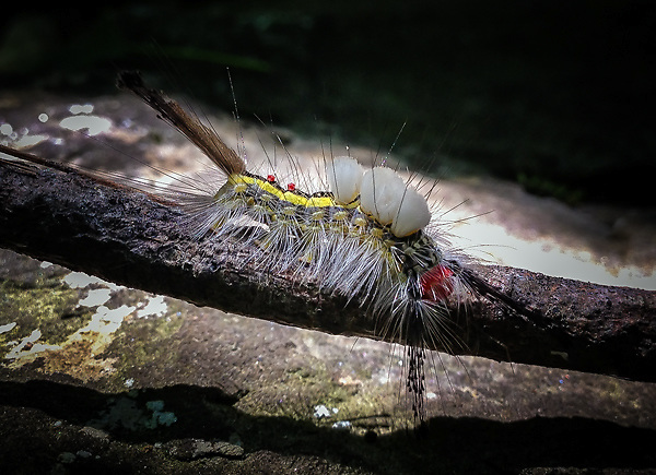 White Tussock Moth caterpillar<br />
