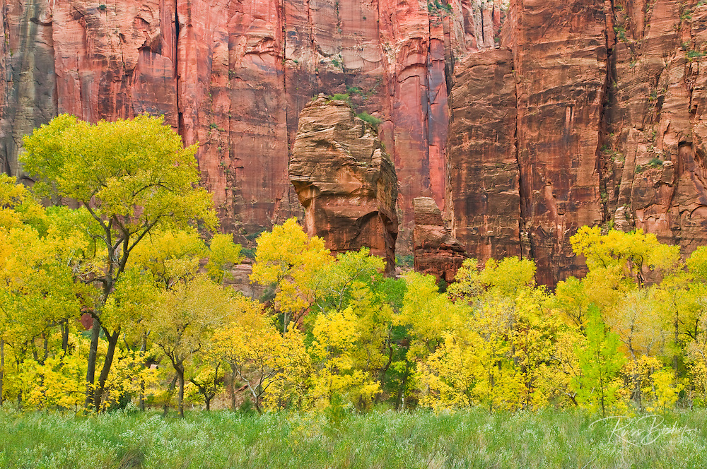 Fall cottonwoods under the Alter and Pulpit rocks in Zion Canyon, Zion National Park, Utah