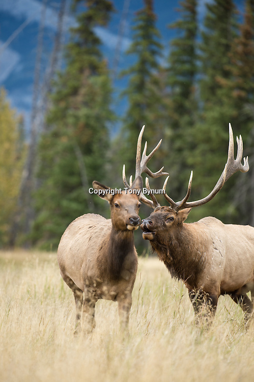 bull elk  bugling following cow elk