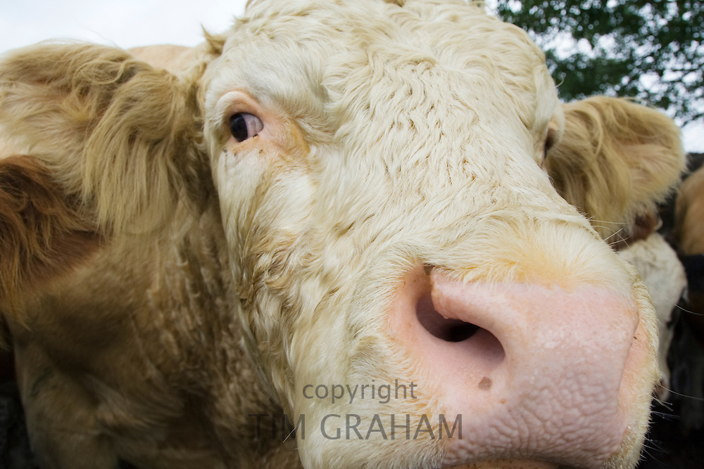 Bull, Hazleton, The Cotswolds,  Gloucestershire, England, United Kingdom