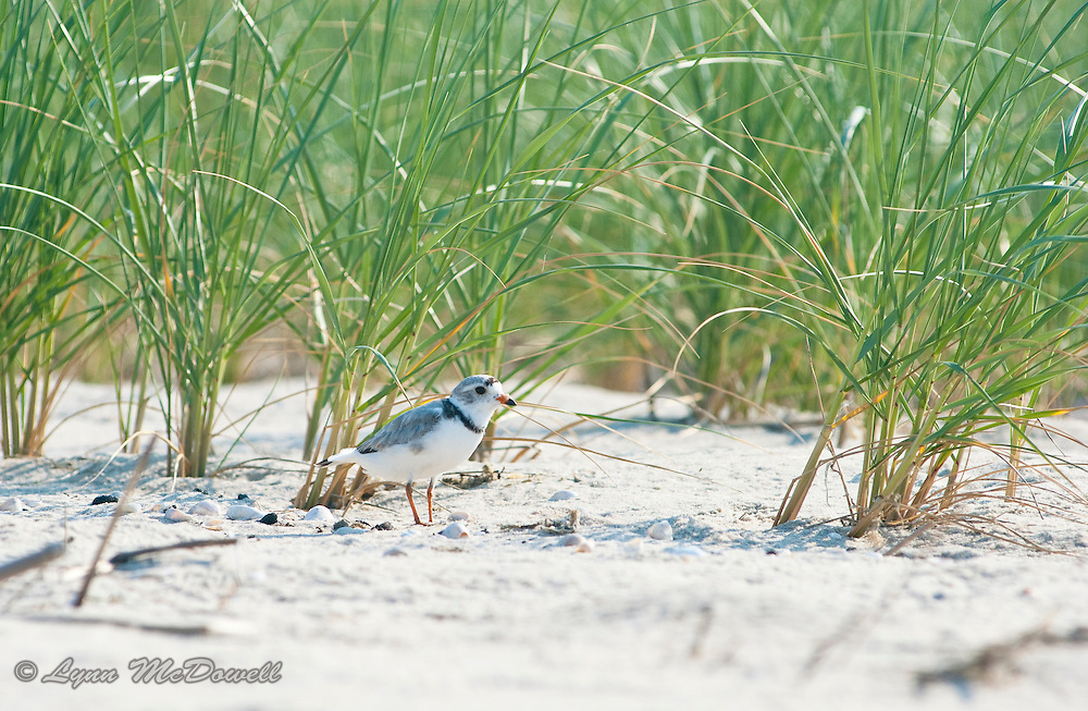 Cape Henlopen State Park is lucky to be a nesting site for the endangered Piping Plover. During this time the state closes the nesting area to human use. On this morning, one of the adult plovers decided to feed by the edge of the restricted area so came into view of my camera. I felt very lucky to be there watching his constant motion as he foraged.