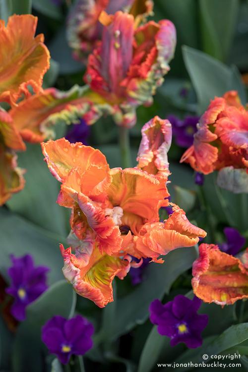 Tulip 'Blumex'