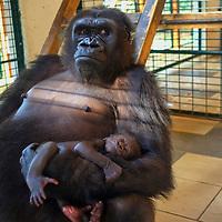 New gorilla is born at the zoo of St. Martin la Plaine