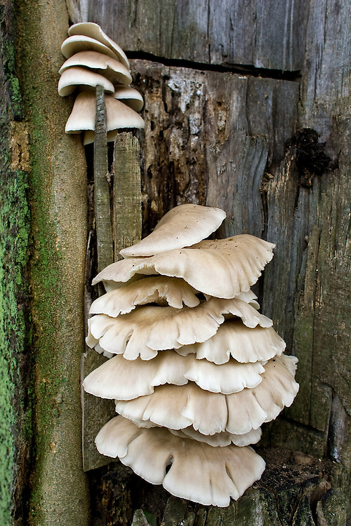 Mushrooms growing out of a tree whose trunk was damaged.