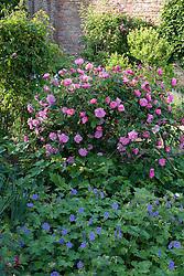 Rosa 'Vanity' with hardy geranium in the Rose Garden at Sissinghurst Castle