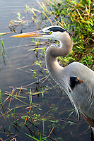 Great blue heron portrait in the Florida Everglades.