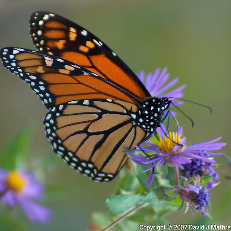 Monarch Butterfly. Late Fall Nature in Central New Jersey. Image taken with a Nikon D2xs and 80-400 mm VR lens (ISO 100, 400 mm, f/5.6, 1/250 sec).