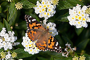 Painted Lady; Vanessa cardui; nectaring on lantana; NJ, Cape May