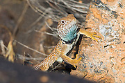 Great Basin Collared Lizard <br /> Crotaphytus bicinctores<br /> Snow Canyon State Park, Utah, United States<br /> 30 June      Adult Male        Crotaphytidae