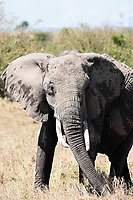 male African elephant in the bush of the Masai Mara reserve in Kenya Africa