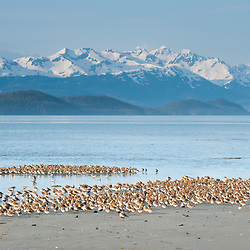 Spring migration of Shorebirds like Dunlin and Western Sandpipers in Orca Inlet with the view of the Chugach Mountains at the edge of Prince William Sound, Alaska