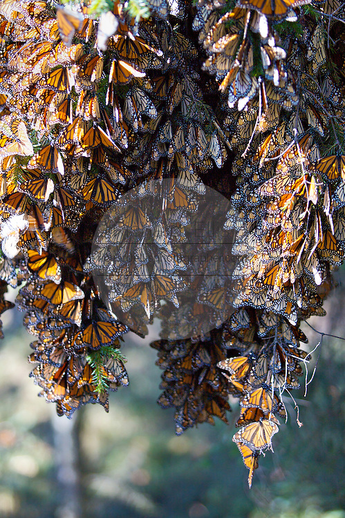 Monarch Butterflies mass on a tree branch in the Cerro Chincua mountain at the Monarch Butterfly Biosphere Reserve in Cerro Chincua central Mexico in Michoacan State. Each year hundreds of millions Monarch butterflies mass migrate from the U.S. and Canada to Oyamel fir forests in the volcanic highlands of central Mexico. North American monarchs are the only butterflies that make such a massive journey—up to 3,000 miles (4,828 kilometers).
