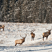 bachelor elk bulls feeding in snow