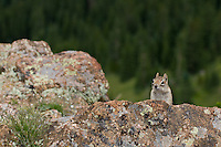 This ground squirrel was very curious as we were setting up photo gear high up in the Sangre de Cristo mountains