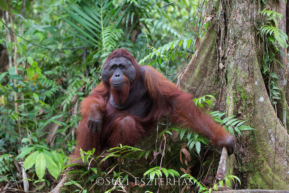 Bornean Orangutan <br /> Pongo pygmaeus<br /> Male sitting on tree buttress <br /> Tanjung Puting National Park, Indonesia