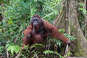 Bornean Orangutan <br /> Pongo pygmaeus<br /> Male sitting on tree buttress <br /> Tanjung Puting National Park, Indonesia