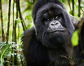 Gorillas and Golden Monkeys