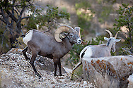 On the edge of a cliff  (of the South rim of Grand Canyon) a  Desert Big horn sheep Ram and Ewe in rutting season.