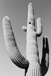 Cactus plant against sky (B&W)