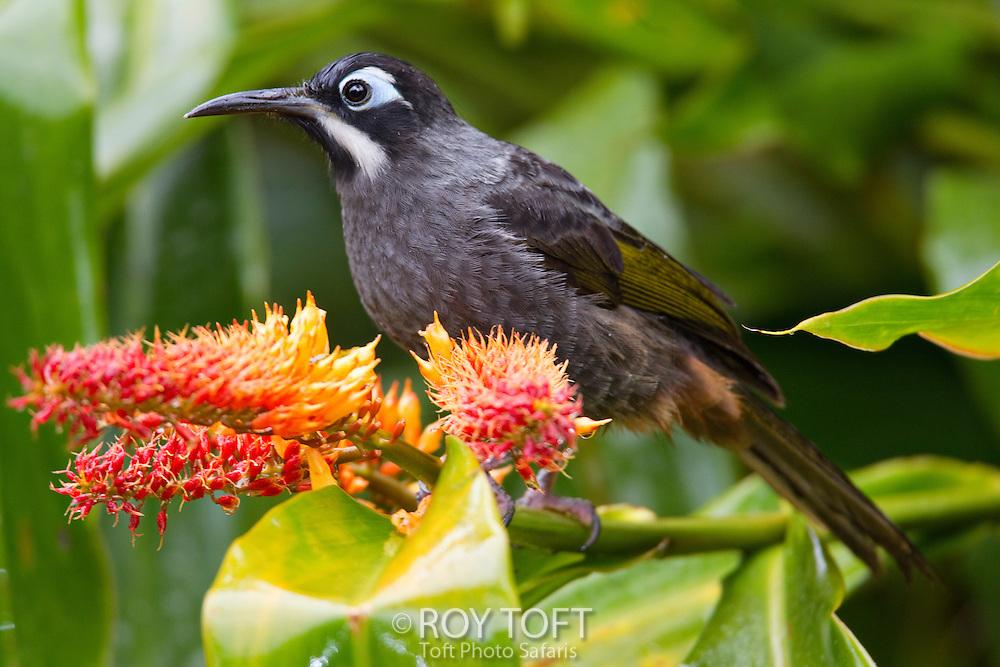 Portrait of Belford's Honeyeater (Melidectes belfordi), Papua New Guinea