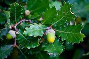 Acorns on oak tree Bordeaux region, France